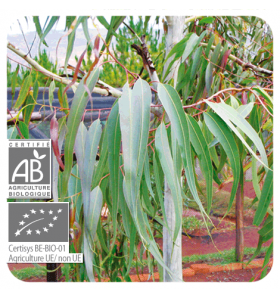 Huile essentielle d'Eucalyptus Citronné bio - 10 ml