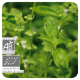 Huile essentielle bio de Basilic exotique - 10 ml