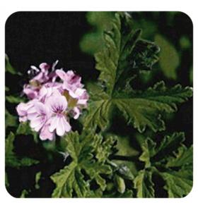Huile essentielle de Géranium rosat cv bourbon 10ml