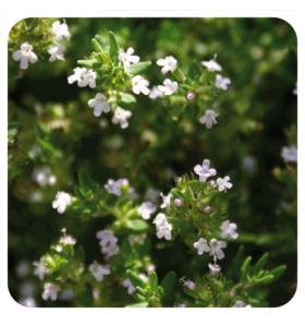 Huile essentielle de Thym à feuilles de sarriette - 10 ml