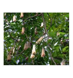 Huile essentielle de Baume du Pérou - 10 ml
