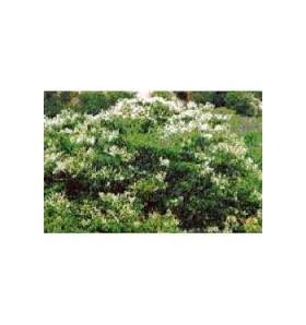 Huile essentielle de Baume de copahu - 10ml