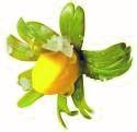 bourgeons de fleurs de citronnier